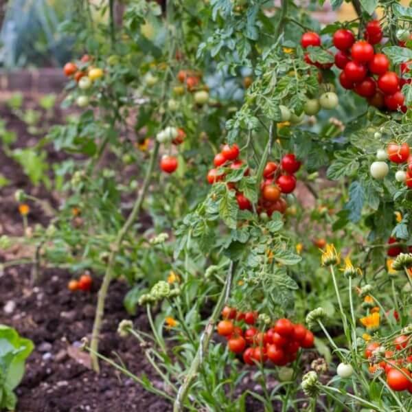 Sonaravna vzgoja zelenjave v kompostni zastirki
